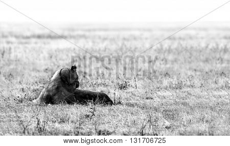 Wild African Lioness staring into the distance