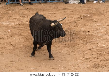 bullfights image of a bull on the street