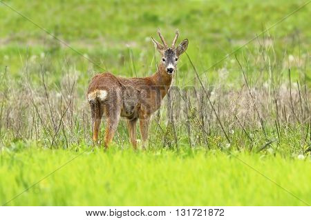 beautiful roebuck in spring field ( Capreolus capreolus male roe deer )
