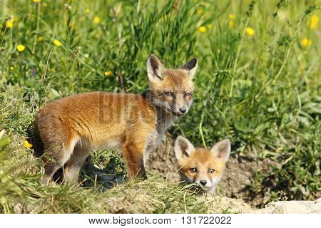 european fox cubs outside the burrow ( Vulpes vulpes ); they like to explore she surroundings while mother vixen is gone hunting