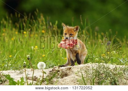 cute red fox cub has stolen chicken piece of meat ( Vulpes vulpes )