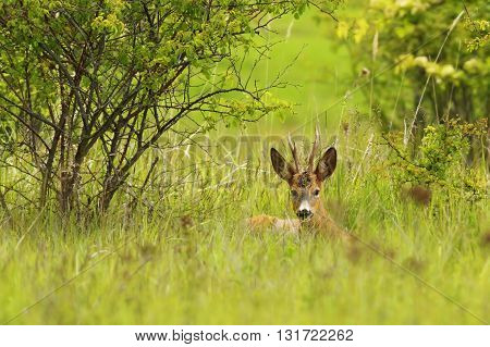 roebuck hiding in the grass ( Capreolus capreolus )