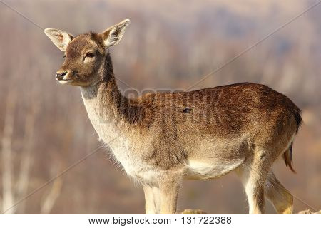 young fallow deer doe ( Dama dama )