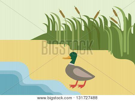 Drake duck river flat cartoon vector farm wild animal bird
