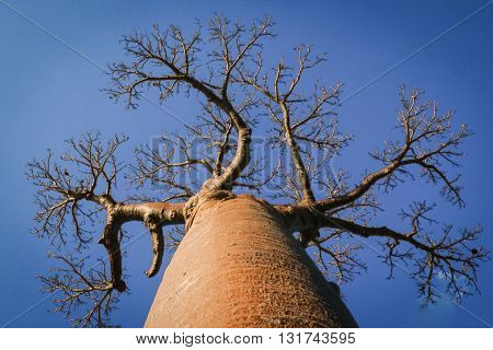 Baobab tree tends branches towards the sky.