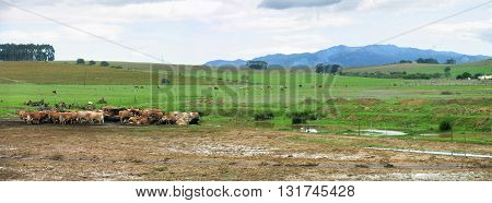 Farm, Cows Waiting To Be Milked, Cloudy, Rainy Weather, Wellington Western Cape South Africa