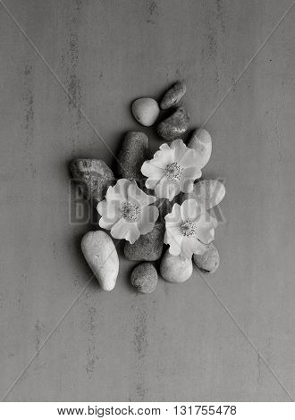 Three white pebbles on the flower wild rose on a gray background. Spa stones treatment scene zen like concepts. black and white photo. Flat lay top view