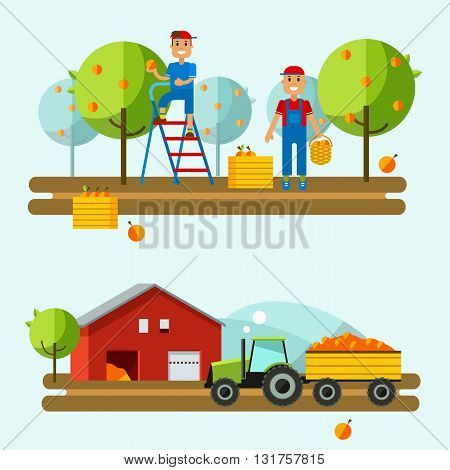 Harvest on farm. Tractor rides to picking.Fruits are in boxes. Set flat vector illustration crop field. Farm vector background. Agricultural machines.Crop in field. Crop science with tractor field.