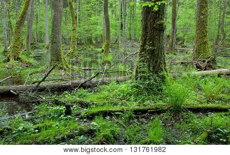 Moss covered alder trees lying in water in front of wet alder stand, Bialowieza Forest, Poland, Europe