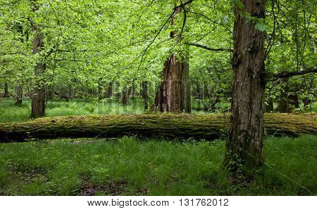 Shady deciduous stand of Bialowieza Forest in springtime with fresh green grassy bottom and old trees and broken ones, Bialowieza Forest, Poland, Europe