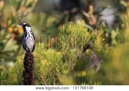White-cheeked honeyeater (Phylidonyris niger) perched on a grass tree flower spike in banksia heathland.