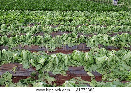 Harvesting mustard green in growth at vegetable garden in Vietnam