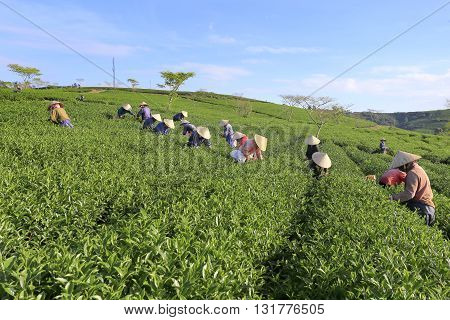 Dalat, Vietnam, May 30, 2016: A group of farmers picking tea on a summer afternoon in Cau Dat tea plantation, Da lat, Vietnam