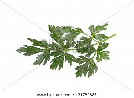 Parsley Herb Isolated On White Background