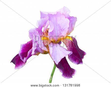 big beautiful flower of Purple Iris on white background