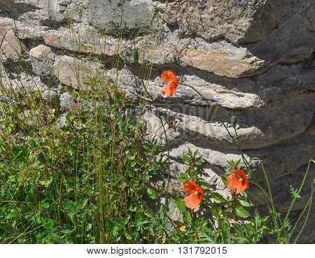 Red Papaver Flower