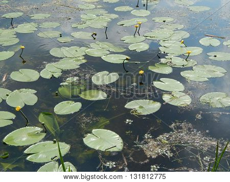 Yellow water lily plants blossomed on the river