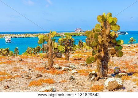 Opuntia cactus forest and ocean at Galapagos island of Santa Cruz.