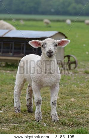 a young white lamb in the field