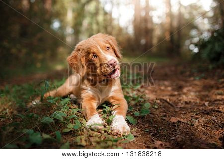 Dog Nova Scotia Duck Tolling Retriever Walking In Summer Park