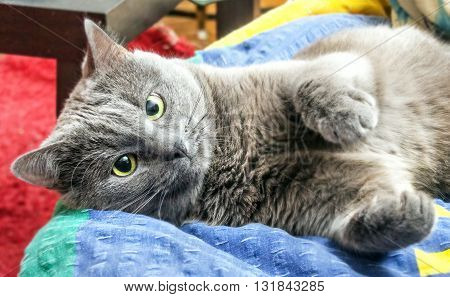 Nice adult grey cat sprawled in bed