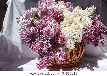 pompous bloom bouquet of garden lilac different kinds into basket