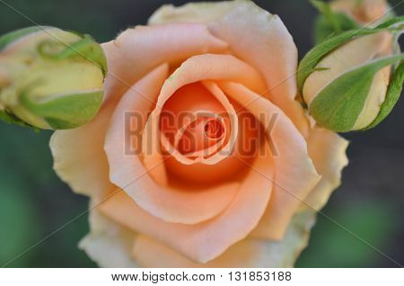 orange roses with two navel beside him