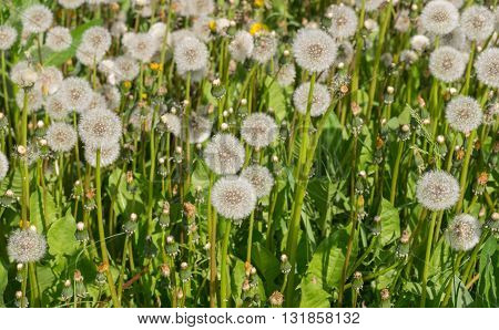 Field with retired dandelions closeup at spring season