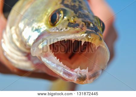 Open mouth of pike-perch closeup on the background of blue sky