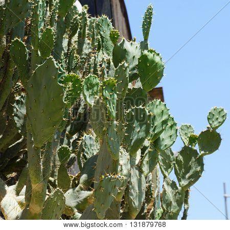 Opuntia robusta cactus on blue sky background