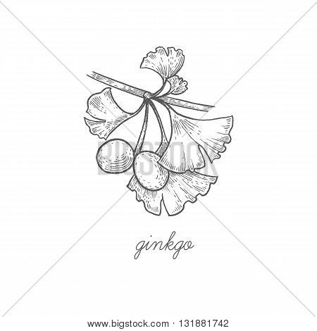 Ginkgo biloba. Vector plant isolated on white background. The concept graphic images of medicinal plants herbs flowers fruits roots. Can used for packaging of natural products health and beauty.