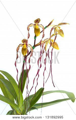 A flower or a beautiful orchid on white background.