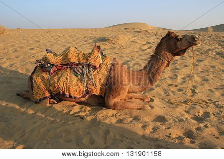 Camel having break after ride at sunset at Sam Sand Dunes Jaisalmer Rajasthan India Asia