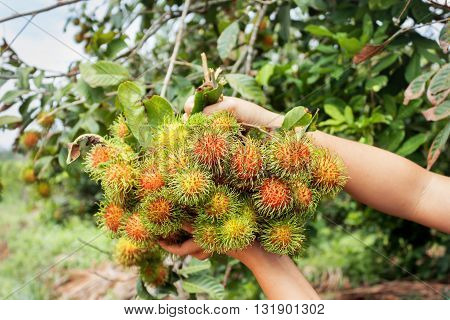 Hand And Fruit Rambutan Bunch Botanic Fresh From Farm Garden On Tropical Rambutan Tree Blurred Backg