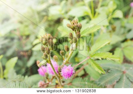 Soft Nature Greenery Background Of Mimosa Bud Flowers On Green Grass Leaf And Bokeh With Ray Light W