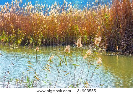 Dense thickets of grass. Hula Nature Reserve, Israel, December. Lake Hula is wintering place for migratory birds
