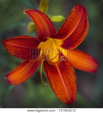Orange and Gold Daylily Blossom - Hemerocallis