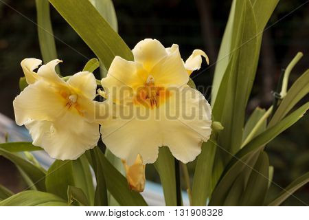Macro of  a Yellow pansy orchid Miltoniopsis on a green background in spring.