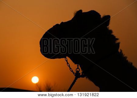 head of camel over sunset in desert