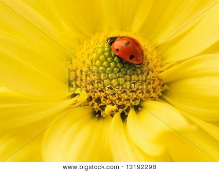 Small ladybug sleeping on yellow flower's petals