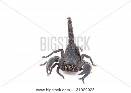 Heterometrus Longimanus Back Scorpion.emperor Scorpion, Pandinus Imperator.scorpion Isolate On White
