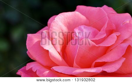 Close up of beautiful pink Rose in sunlight