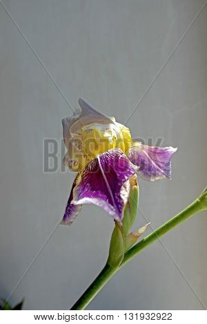 Bright yellow-lilac iris flower in the noonday sun. Iris. Flower. Floral background.  Iris background. Beautiful iris. Summer flowers.