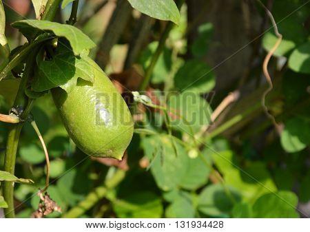 finger lime on branch in the garden