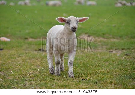 little spring lamb outside in the field