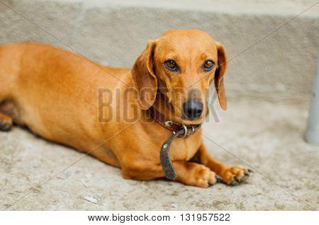 Dachshund Dog  In Outdoor. Beautiful Dachshund Sitting In The  W