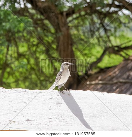 Tropical Mockingbird (Mimus gilvus rostratus) perched on a wall