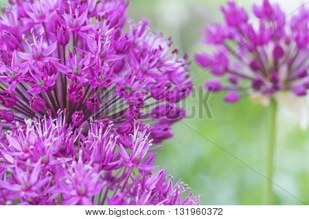 Two purple flowering ornamental onions are on the left edge of the photo. Blurred flower is on the right edge of the photo. Horizontally.