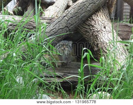 A Pallas Cat also known as a( felis Manul) cat peeking though some logs.