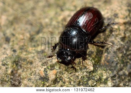 Aphodius depressus dung beetle. Insect in the family Scarabaeidae commonly found in cow pats